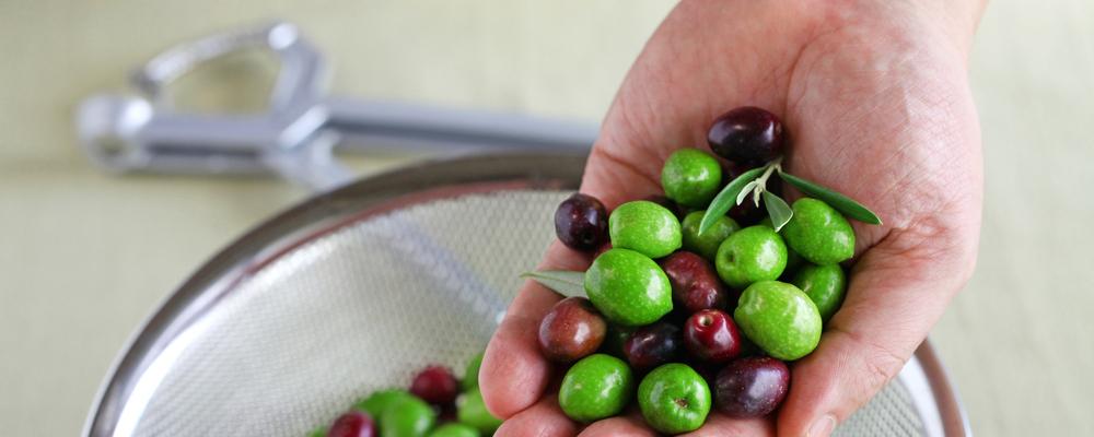 Hands holding harvested fresh olives